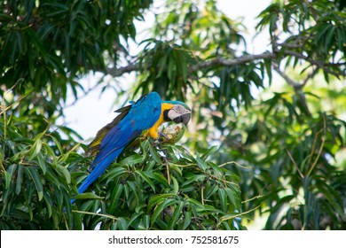 Macaws on farm trees in the interior of Brazil