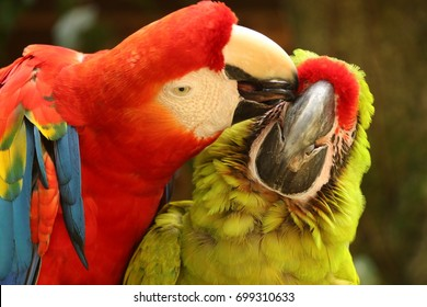 Macaws in tropical Honduras.