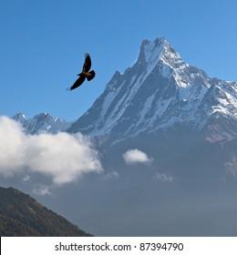 Machhapuchre at sunrise and black bird - Nepal, Himalayas
