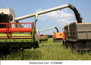 Machine harvesting Rapeseed (Brassica napus)