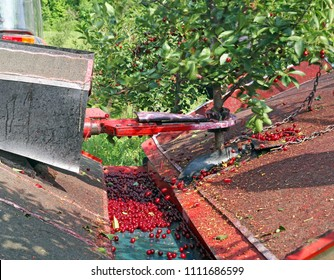 Machine vibrator for harvesting sweet cherry agriculture