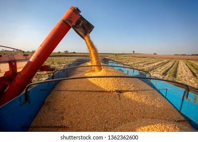 Machine work corn harvest on farmland, Brazil