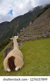 MACHU PICCHU / PERU, August 16, 2018 : A llama watches the terraces in the ruins of Machu Picchu.