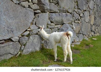 MACHU PICCHU / PERU, August 16, 2018: A baby llama eats amid the ruins of Machu Picchu.