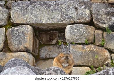 MACHU PICCHU / PERU, August 16, 2018: A viscacha rests amid the ruins of Machu Picchu.