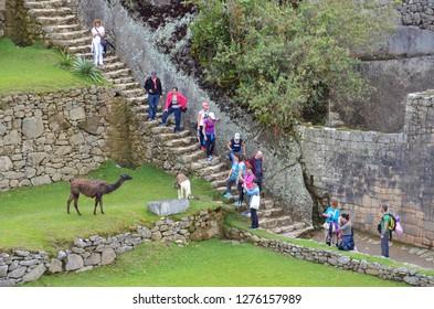 MACHU PICCHU / PERU, August 16, 2018: Tourists take photographs of llamas at Machu Picchu