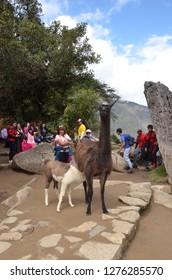 MACHU PICCHU / PERU, August 16, 2018: A llama nurses amid the ruins of Machu Picchu.