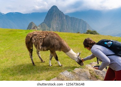 Machu Picchu, Peru - Sep 14, 2018: Tourist petting a llama at Machu Picchu. Llamas are part of the native culture of the Incans.