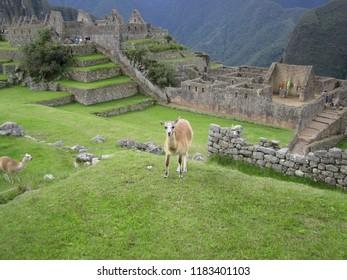 Machu Picchu, Peru-May 16, 2017: Two llamas wander the ancient historic site of Machu Picchu.