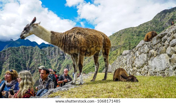 Machu Piccu, Cusco, Peru - August 2017: Tourists and llamas Machu Picchu.