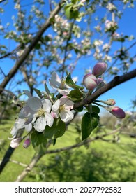 Macintosh Apple Blossoms in Sun