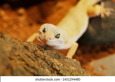 Albino Lizard Images, Stock Photos & Vectors | Shutterstock