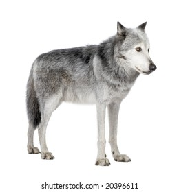 Mackenzie Valley Wolf (8 years)  - Canis lupus occidentalis in front of a white background
