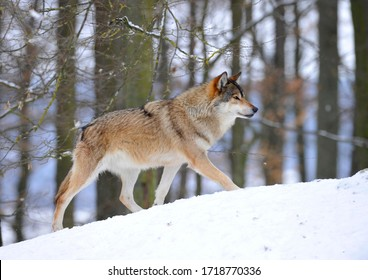 Mackenzie Valley Wolf, Alaskan Tundra Wolf or Canadian Timber Wolf (Canis lupus lycaon), leader of the pack