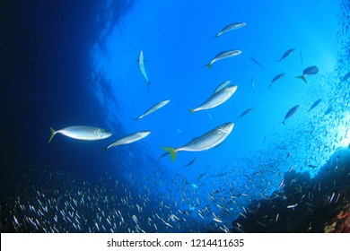 Mackerel fish hunting sardines underwater
