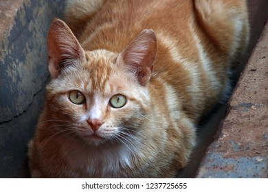 MACKEREL GINGER CAT WITH LIGHT GREEN EYES