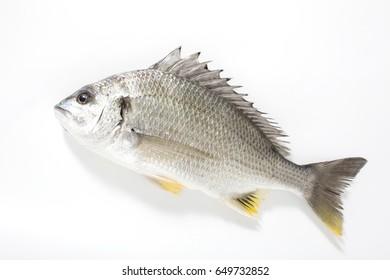 Mackerel sea bream