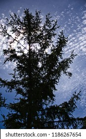 Mackerel sky behind fir trees