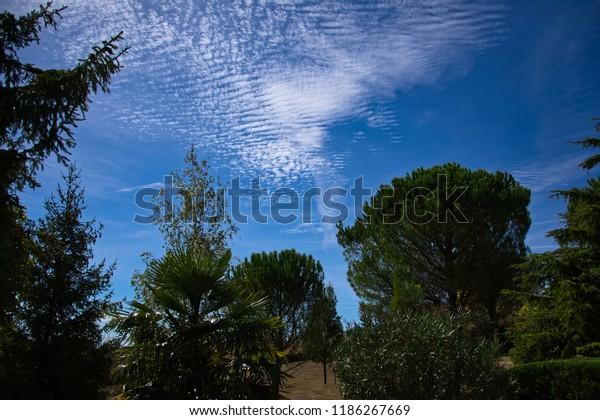 Mackerel sky behind fir trees