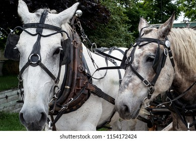 Mackinac Island carriage horses on the trail in summer on a cloudy day