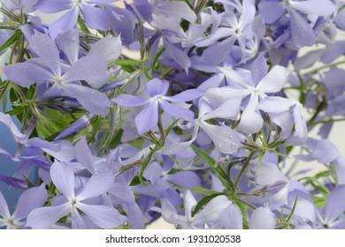 Mackro Blue phlox Flower Backdrop. Fine Art Floral Natural Textures. Portrait Photo Textures Digital Studio Background, Best for cute family photos, atmospheric newborn designs Photoshop Overlays