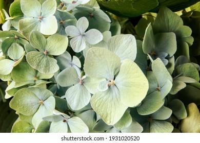 Mackro Green hydrangea Flower Backdrop. Fine Art Floral Natural Textures. Portrait Photo Textures Digital Studio Background, Best for cute family photos, atmospheric newborn designs Photoshop Overlays