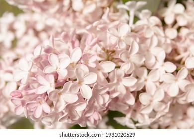 Mackro Pink lilac Flower Backdrop. Fine Art Floral Natural Textures. Portrait Photo Textures Digital Studio Background, Best for cute family photos, atmospheric newborn designs Photoshop Overlays