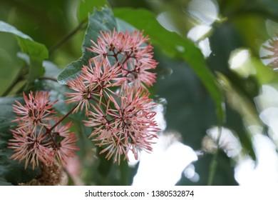 Macleaya cordata or the five-seeded plume-poppy