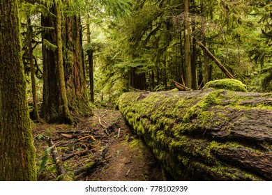 MacMillan Provincial Park, Vancouver Island, British Columbia, Canada. The MacMillan Provincial Park is home of a famous, 157 hectare stand of ancient Douglas-fir, known as Cathedral Grove