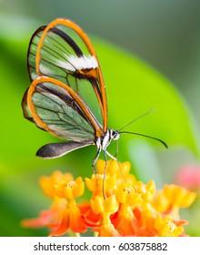 Maco of a glasswinged butterfly (greta oto) on a flower