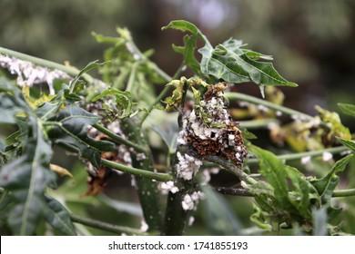 Maconellicoccus hirsutus on Cnidoscolus chayamansa tree