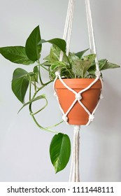 A macrame plant hanger with a Marble Queen variety Pothos plant. Hand-Made macrame plant hanger.