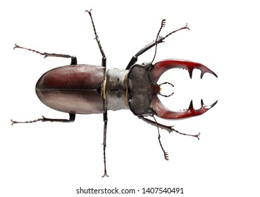 Macro from above  view of big Stag Beetle (Lucanus cervus) full length with red antlers or mandibles isolated on white