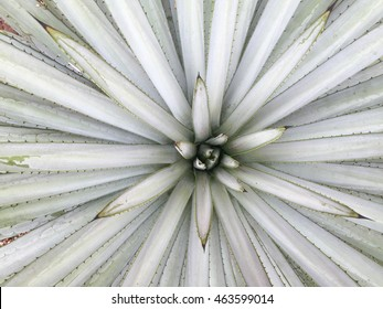 A macro abstract composition of the leaves of a beautiful specimen of agave tequilana