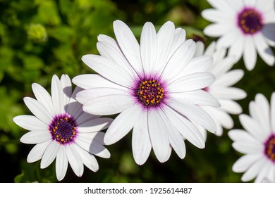 Macro of African daisy Osteospermum ecklonis blooms in purple, pink and white with yellow pollen in a botanical garden.