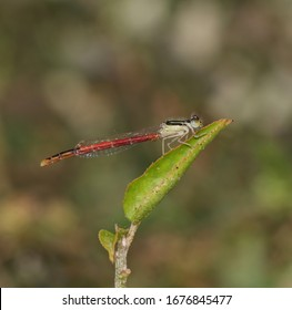 Macro of Agriocnemis Pygmaea or Pygmy Wisp Damselfly, Also Known as Wandering Midget, Pygmy Dartlet or Wandering Wisp