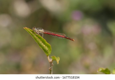 Macro of Agriocnemis Pygmaea or Pygmy Wisp Damselfly, Also Known as Wandering Midget, Pygmy Dartlet or Wandering Wisp in Horizontal Orientation