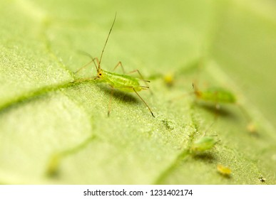 Macro of aphids on a plant