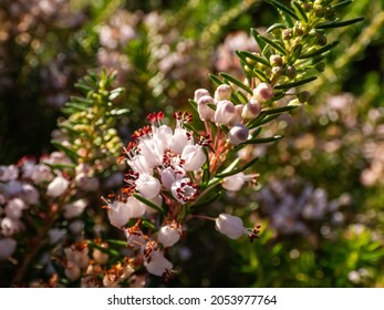 Macro of beautiful bell-shaped, white, pink and red-purple flowers of Cornish heath or wandering heath (Erica vagans) 'Lilacina' in summer and autumn with bright backlight and blurred bokeh background