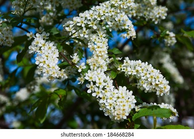 macro beautiful blooming branch of bird cherry on a sunny spring day in the garden