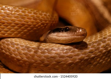 macro of a beautiful cave rat snake snake close up