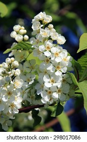 macro beautiful flowers of bird cherry in a garden on a sunny spring day