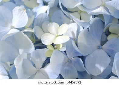 Macro of beautiful hydrangea