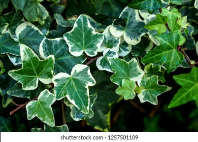 Macro of beautiful, lush green leaves of Common Ivy. Also known as Hedera helix, English ivy or European ivy.