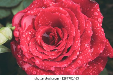 Macro of beautiful red rose in full bloom covered in water droplets from morning dew. Love and romantic concept.