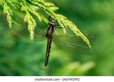 Macro beautiful young black-tailed skimmer (Orthetrum cancellatum) female. This dragonfly belonging to family Libellulidae. Dragonfly portrait  with copy space as natural background  for wallpaper