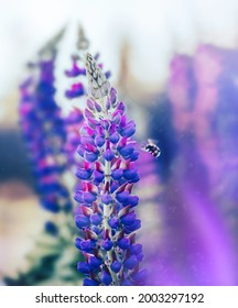 Macro of a bee approaching purple lupine flower. Insect mid flight photo. Shallow depth of field, soft focus