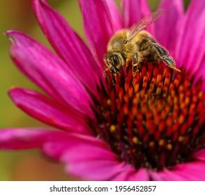 Makro eines Bienensammelnektars an einer Blumenblüte