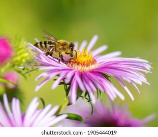 Makro eines Bienensammelnektars an einer rosafarbenen Osterblüte