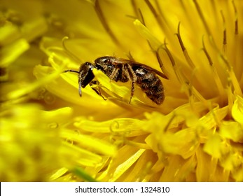 macro of a bee in a dandelion taken with a reversed 50mm lens